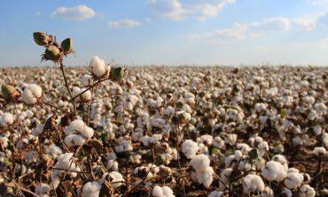 Prezzo del cotone ai minimi del decennio