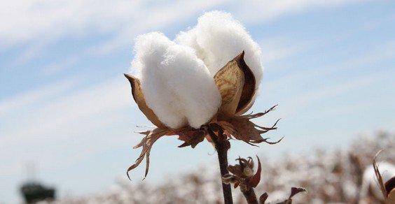 Cotone, produzione mondiale in crescita (+7%)