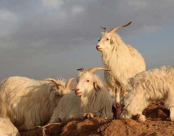 Loro Piana apre allevamento in Mongolia