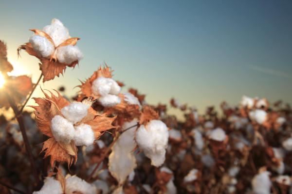 Albini crea per Kering il cotone tracciabile
