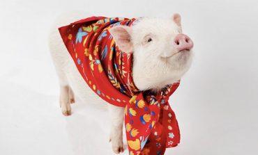 Capodanno cinese, scoppia la moda del maiale